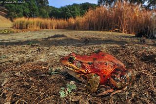California Red-legged Frog (Rana draytonii)