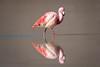 Narziss (Rainer ❏) Tags: mirrorimage spiegelbild jamesflamingo flamingo flamenco lagunacañapa see lake gebirge landschaft anden altiplano mountains landscape hochebenesüdboliviens bolivia bolivien latinamerica southamerica color rainer❏