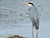 Garza real (Ardea cinerea) (37) (eb3alfmiguel) Tags: aves zancudas ciconiiformes ardeidae garza real ardea cinerea