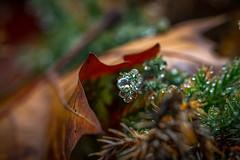 A Family of Rain Drops (Sonarsgs) Tags: ferns waterdrops rain nature outdoors macro