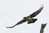 2018 02 01_African Hawk-Eagle-3 (Jonnersace) Tags: krugernationalpark wildwingssafaris africanhawkeagle aquilaspilogaster grootjagarend raptor hunter canon7dii canon100400ii southafrica wings flight beak talons sky eye birdofprey primaries