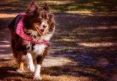 01.17.18 - 2267 Action! (CarmenSisson) Tags: alabama aussie australianshepherd coden cowboy apparel canine coat cold dog jacket pink redtri winter