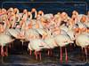 Flamingo (Φλαμίνγκο - Φοινικόπτερα) at the Kalohori lagoon of Thessaloniki, Macedonia Hellas !!! (Spiros Tsoukias) Tags: hellas thessaloniki flamingos καλοχώρι δήμοσ δέλτα φοινικόπτερα ερωδιοί αργυροπελεκάνοι βαρβάρεσ γεράκια πάπιεσ φαλαρίδεσ θεσσαλονίκη ορνιθοπανίδα πάρκοκέρκυρασ υδρόβιαπτηνά γαλλικόσ αξιόσ λουδίασ αλιάκμονασ εθνικόπάρκο δέλτααξιού ελλάδα μακεδονία πουλιά λιμνοθάλασσα φύση ποτάμια greece macedonia birds lagoon nature rivers grecia uccelli laguna natura fiumi griechenland mazedonien vogel lagune natur flusse grece macedoine oiseaux rivieres flamingo φλαμίνγκο
