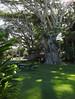 Kapaau - In the Shadows of a Big Tree (Drriss & Marrionn) Tags: bigisland hawaii usa outdoor tropicalisland volcanicisland tropical travel kapaau statue king kingkamehameha park garden grass tree trees picnic