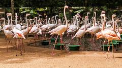 Flamingos (Enio Godoy - www.picturecumlux.com.br) Tags: niksoftware flamingos iguassufalls viveza2310330894213 a6300 brazil birds sonyalpha sony fozdoiguaçu fall sonyalpha6300 birdspark