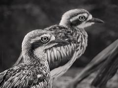 Double vision (Petra Ries Images) Tags: burhinusgrallarius curlew stonecurlew bird vogel vintagelens manualfocus manuallens australia queensland jupiter11135mmf4