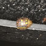 Paropsisterna annularis thumbnail