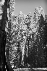 Giants II (rschnaible (Not posting but enjoying your posts)) Tags: sequoia national park tree forest woods outdoor botanical bw black white photography monotone general sherman west western us usa california