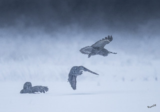 Once in a lifetime, three great gray owls in the same picture