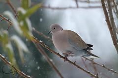 Tourterelle (JiJi-aime) Tags: neige froid tourterelle turque columbidae