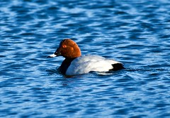 Common Pochard (Male) - Taken at Sywell Country Park, Sywell, Northamptonshire. UK (Ian J Hicks) Tags: