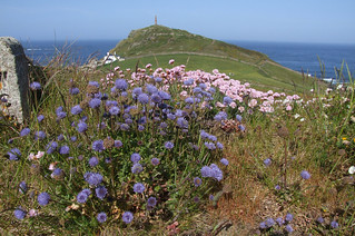 Sheepsbit and Thrift on drystone wall, with Cape Cornwall beyond