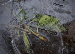 prison de glace (bulbocode909) Tags: valais suisse feuilles glace hiver gel nature vert