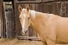 Camp Drafter (cupitt1) Tags: rouchel nsw australia country horse campdraft palomino stable stall yard buckskin mane blaze farm workhorse
