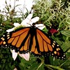 A Butterfly Exhibit (barbararea337) Tags: butterfly green flora brushfootedbutterfly insect sitting wing jar outdoors pottedplant
