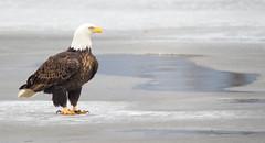 Majestic Bald eagle (overthemoon3) Tags: baldeagle nature wildlife wildlifephotography wisconsin spring