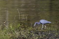 Little Blue Heron with fish catch (Alan Vernon.) Tags: little blue heron egretta caerulea fish catch food wading swamp wetland bird avian nature wild wildlife birding birdwatching florida