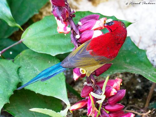 "Crimson Sunbird (Lifer) • <a style=""font-size:0.8em;"" href=""http://www.flickr.com/photos/59465790@N04/39988693102/"" target=""_blank"">View on Flickr</a>"