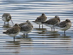 Bar-tail Godwits (Limosa lapponica) (Brian Carruthers-Dublin-Eire) Tags: bartail godwits limosa lapponica bartailgodwits limosalapponica bartailgodwit godwit rossegrutto pittimaminore agujadecolapintada bargerousse grutto rosse cola pintada pittima de aguja pfuhlschnepfe rousse barge bartailed scolopacidae charadriiformes