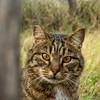 Gatto a Pellestrina (laura.mnz) Tags: gatto animale occhi sguardo occhigialli tigrato pellestrina venezia giallo grigio