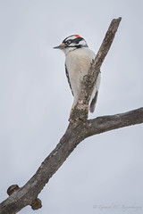 Downy Woodpecker - Male (Turk Images) Tags: aspenparkland downywoodpecker isletlake picoidespubescens alberta birds dowo picidae winter woodpeckers male