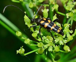 Longhorn Beetle - Leptura quadrifasciata DSC_0571