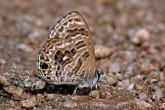 Prosotas aluta - the Barred Lineblue (BugsAlive) Tags: butterfly mariposa papillon farfalla schmetterling бабочка conbướm ผีเสื้อ animal outdoor insects insect lepidoptera macro nature blue lycaenidae prosotasaluta barredlineblue polyommatinae wildlife lamnamkoknp chiangrai liveinsects thailand thailandbutterflies bugsalive ผีเสื้อฟ้าขีดหกลายเข้ม