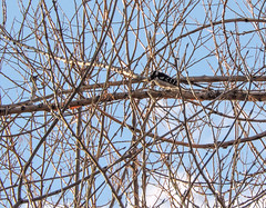 Downy Woodpecker (Steve Frye) Tags: downywoodpecker picoidespubescens downywoodpeckercolorado downywoodpeckerboulder wildbirdboulder wildbirdcolorado wildbirdcompany formerwildbirdcenter notwildbirdsunlimited birdseed birdwalk saturdaymorningbirders twinlakes bouldercountyparksandopenspace gunbarrel colorado eileenrutherford