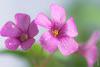 ....... (N.Batkhurel) Tags: flower flora macro closeup ulaanbaatar mongolia ngc nikon nikond5200 natur 105mm