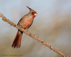 Pyrrhuloxia (Matt Shellenberg) Tags: pyrrhuloxia desertcardinal desert cardinal arizona southwest red gray