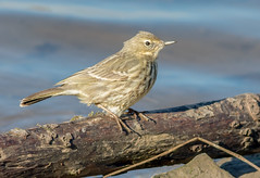 JWL3757  Water Pipit.. (jefflack Wildlife&Nature) Tags: waterpipit waterbirds pipit pipits birds avian animal animals wildlife wildbirds wetlands waterways estuaries estuary reservoirs lakes countryside coastalbirds songbirds nature