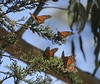 "7 Pismo Beach Monarch Butterfly Grove 2.2.18 • <a style=""font-size:0.8em;"" href=""http://www.flickr.com/photos/36838853@N03/40223871102/"" target=""_blank"">View on Flickr</a>"