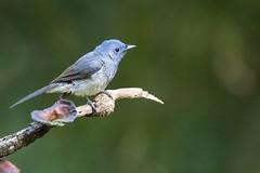White-bellied Blue Flycatcher (chrisbarber6) Tags: sigma500mmf4 canon7dmark2 indianbirds birdphotography westernghats karnatakabirds dandeli oldmagazinehouse whitebelliedblueflycatcher flycatcher