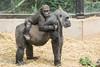2018-02-16-13h25m58.BL7R9522 (A.J. Haverkamp) Tags: canonef100400mmf4556lisiiusmlens shae shindy amsterdam noordholland netherlands zoo dierentuin httpwwwartisnl artis thenetherlands gorilla sindy pobrotterdamthenetherlands dob03061985 pobamsterdamthenetherlands dob21012016 nl