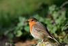 Robin (Photo & Nature) Tags: robin bamberg deutschland nikon d3300 200500 nature wildlife birds animal songbird rotkehlchen wild nikor germany vögel