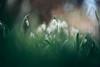 small talk (--StadtKind--) Tags: makro macro macrophotography nature naturephotography flowers fleur flores blumen blüten petals plants pflanzen bokeh bokehlicious bokehaddicts bokehmasters alphaddicted stadtkind sonyilce7r sonyfe90mmf28macrogoss vollformat fullframe primelens gras