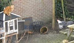 Neighbours & Friends (simonpfotos) Tags: cat 7dwf chicken