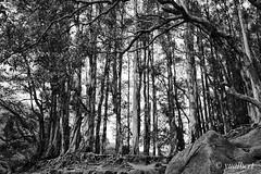 A Wood (yualbert) Tags: fuji fujifilm x100 100f photography snapshot candid hongkong blackandwhite bw monochrome forest wood tree landscape