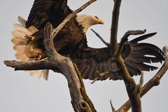 Eagle-Bluffs edit #1-7141 (CRAMPPAW44) Tags: