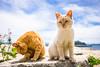 thrivers on islands #122 (Ogi Island, Kagawa) (Marser) Tags: xt10 fuji raw lightroom japan kagawa island cat tabby 香川 男木島 猫 貓