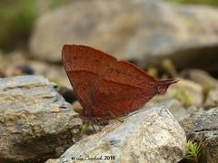 Penaincisalia loxurina (LPJC) Tags: manuroad manu peru 2016 lpjc butterfly penaincisalialoxurina hairstreak