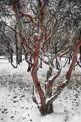 manzanita (pixability) Tags: manzanita snow