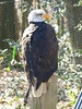 Weißkopf-Seeadler (Chriest) Tags: falknereibergischland weiskopfseeadler haliaeetusleucocephalus