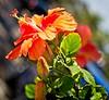 Street Hibiscus (LarryJay99 ) Tags: 2018 lakeworthstreetpaintingfestibal urban festivals crowds florida plants flowers urbannature foliage green greenery hibiscus nature colors lakeworth buds leaves blossoms blooms bokeh