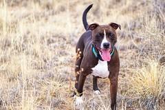 2018-02-26_10-22-15 (kmetz12.km) Tags: dogs sony a6000 pitbull pickle desert happy