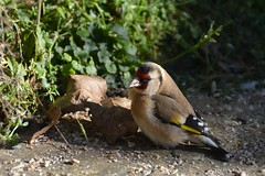 Golden Drop Out! (suekelly52) Tags: goldfinch cardueliscarduelis
