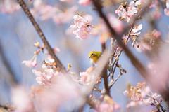 _DSC0750.jpg (plasticskin2001) Tags: mejiro sakura flower bird