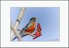 American Robin (Summerside90) Tags: birds birdwatcher americanrobin march winter snow sumac berries backyard garden nature wildlife ontario canada