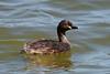 Australasian Grebe (philk_56) Tags: perth western australia lake monger water birds australasian grebe waterbird duck