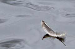 Floating Feather (glenbodie) Tags: bodie glen glenbodie reifel